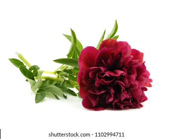 Dark red peony flower on a white background