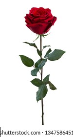 Dark red rose with green leaves isolated on white background