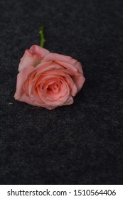 dark red rose isolated on ash background.