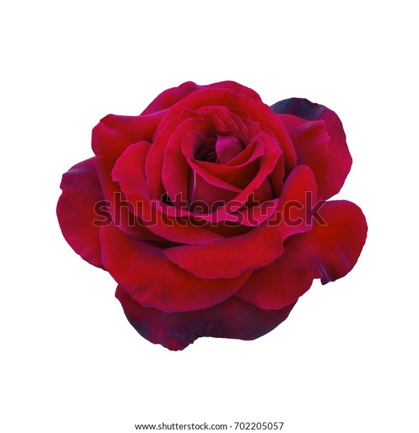 Dark red rose isolated on a white background