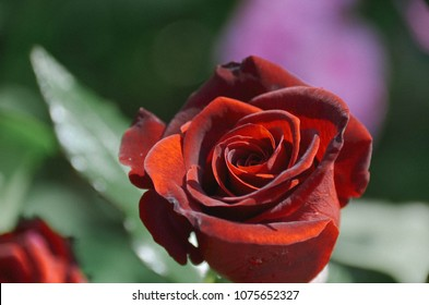 Dark red rose with morning dew in blossoming summer garden