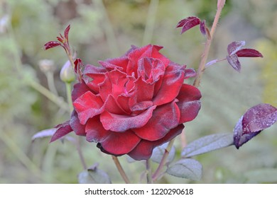 Dark red rose with morning dew on background from blurred garden bushes