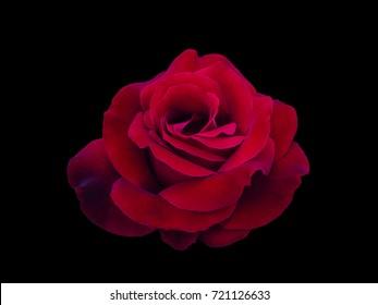 Dark red rose is on black background