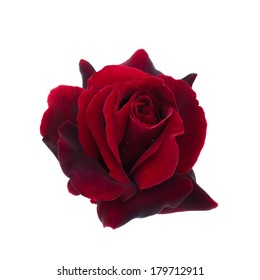 dark red rose is on a white background