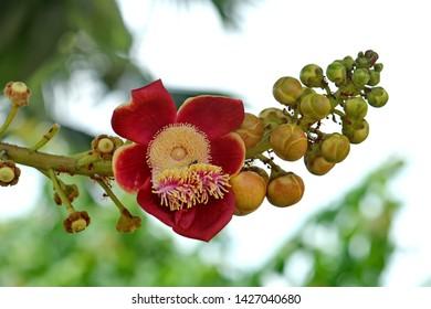 Dark red sala flower background