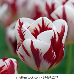 Dark red and white tulip