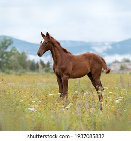 A dark red young colt stands in a field in a flower meadow against the backdrop of smoky mountain ranges