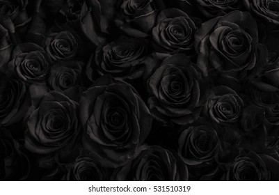 Dark roses background. greeting card with a luxury roses