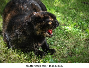 Dark Scottish fold cat angry hissing cat showing his teeth.