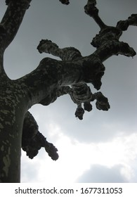 Dark silhouette of odd shaped tree against a cloudy gray sky in rural region of Bordeaux France, oddly shaped tree.
