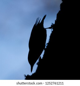 Dark silhouette on the sky background nuthatch (Sitta europaea). The Eurasian nuthatch or wood nuthatch (Sitta europaea) sitting on the branch in a winter time.