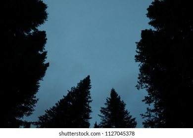 Dark silhouettes of high pines and spruces from below upwards on background of clear dark blue sky with copy space. Template with coniferous trees close up in faded tones. Eerie atmospheric landscape.