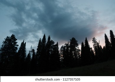 Dark silhouettes of high pines and spruces from below upwards on background of cloudy sunset sky with copy space. Template with coniferous trees close up in faded tones. Eerie atmospheric landscape.