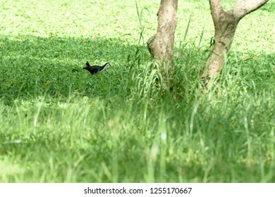 A dark slaty waterbird with a clean white face , breast and belly and widely distributed across Southeast Asia.
