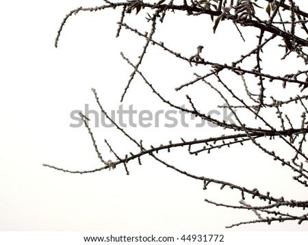 Dark Snowy Branches Over White Background Stock Photo Edit Now