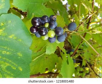 Dark sweet Grapes