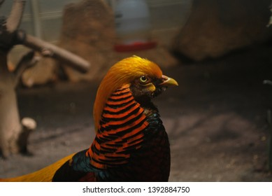Dark Throated Golden Pheasant. The golden pheasant or Chinese pheasant (Chrysolophus pictus) is a gamebird of the order Galliformes (gallinaceous birds) and the family Phasianidae (pheasants)