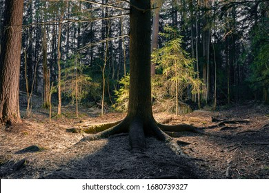 Dark trunk of an old spruce tree with distinct thick roots in the dark forest. surrounding pines, spruces and small deciduous trees are illuminated from behind the tree trunk. Spooky atmosphere.
