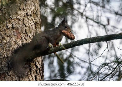 A dark variant of a red squirrel eats a pine cone in a tree.