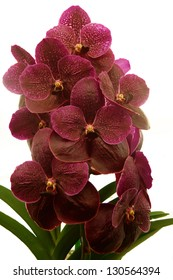 Dark violet vanda orchid