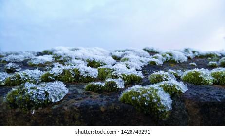 Dark wall of frozen moss clumps