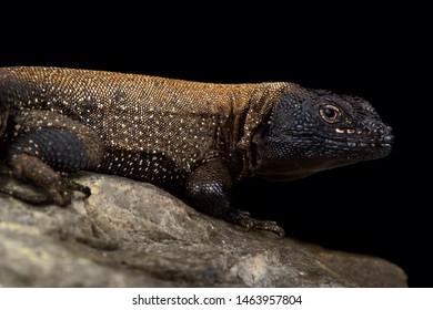 Dark Whorltail Iguana (Stenocercus melanopygus)