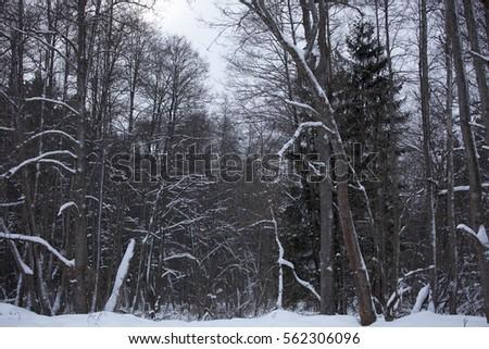 dark winter forest stock photo edit now 562306096 shutterstock
