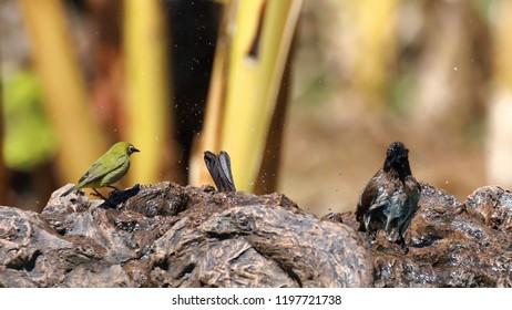Dark-Caped Bulbul and cape White-eye enjoying the Birdbath