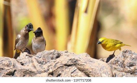Dark-Capped Bulbul and golden weaver splashing about in the birdbath