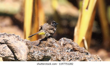 Dark-capped Bulbul shaking after cooling down in birdbath
