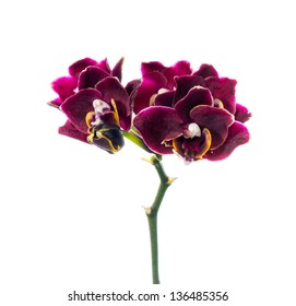 dark-cherry orchid isolated on the white,  background