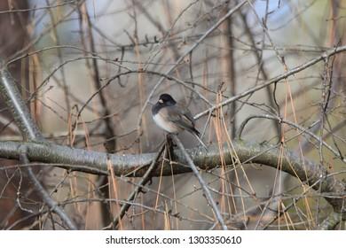 Dark-eyed Junco bird in tree