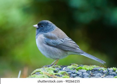 Dark-eyed Junco (Junco hyemalis) is the best-known species of the juncos, a genus of small grayish American sparrows.