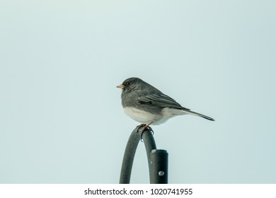 Dark-eyed junco isolated on a curved rail.