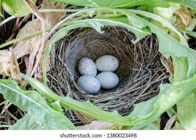 Dark-eyed Junco Nest with Eggs. Santa Clara County, California, USA.