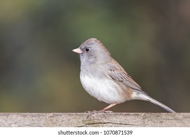 A dark-eyed junco stands on a faded wooden fence. Its white belley feathers standout against the deep green background.