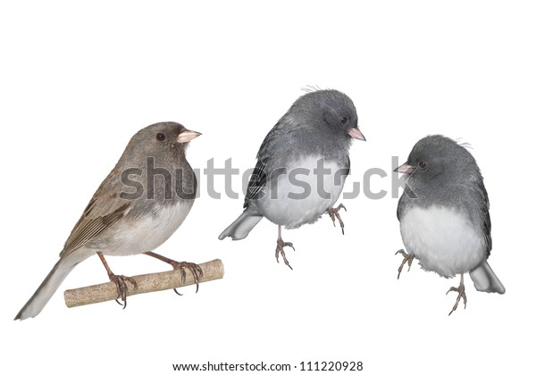 Dark-eyed Junco, white winged. Two males and one female, isolated on white. Latin name - Junco hyemalis.