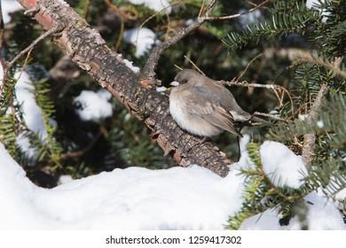 dark-eyed junco in winter