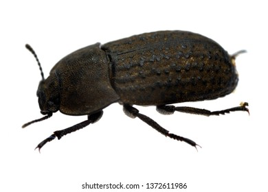 Darkling beetle Opatrum sabulosum isolated on white.