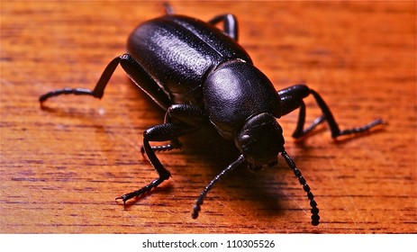 Darkling Ground Beetle