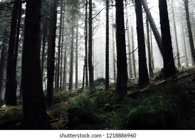 Darkness in the coniferous forest