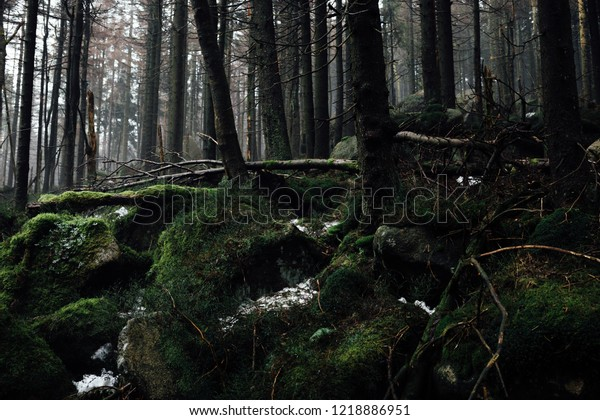 Darkness in the coniferous forest. The forest floor covered by moss