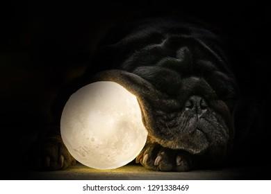 Darkness pug.(Black Pug dog playing with moon light ball.)