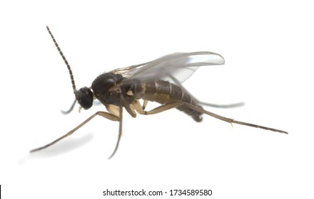 Dark-winged fungus gnat, Sciaridae isolated on white background, these insects are often found inside homes