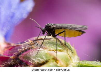 Dark-winged fungus gnat, Sciaridae on bud