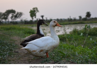 Darling ducks are contrasted black and white