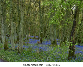 Darroch Wood Bluebells,  Hyacinthoides non-scripta, amongst the Old Oak Trees near Blairgowrie on a wet May day.