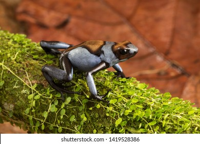 Dart frog, Oophaga histrionica. A poisonous animal from the jungle of Colombia. A poison dartfrog with bright blue warning colors.