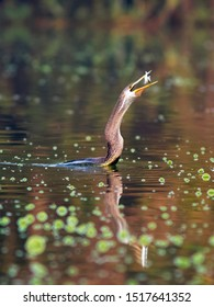 Darters dive into water to catch fish. Once they have their catch, darters come out of water, toss the fish and swallow them head first.