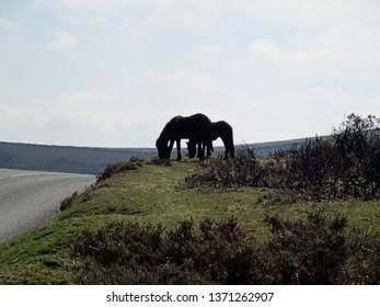 Dartmoor, Devon, United Kingdom, April 12, 2019.  Dartmoor wild ponies silhouetted against the horizon near Haytor.  Dartmoor, Devon, United Kingdom, April 12, 2019.